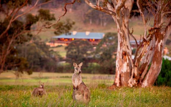 wolgan-valley-resorts-kangaroos