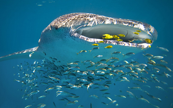 The Whale Sharks at Ningaloo Reef