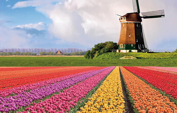 See the Famous Tulip Fields of the Netherlands with Uniworld