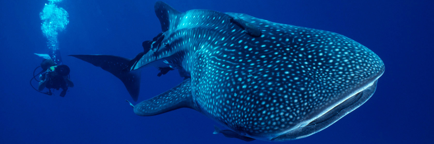 pristine-waters-of-ningaloo-reef-whale-shark
